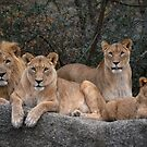 A Pride of Lions by Jo-PinX