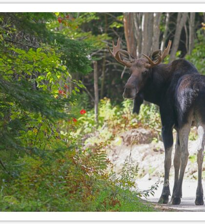 Maine Moose bull Sticker