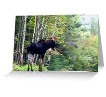 Maine bull Moose by the birches Greeting Card