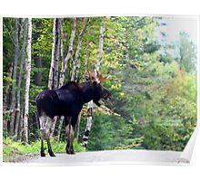 Maine bull Moose by the birches Poster