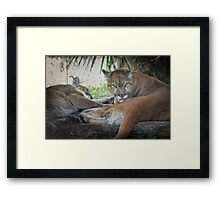 Facing Extinction - Florida Panther Framed Print