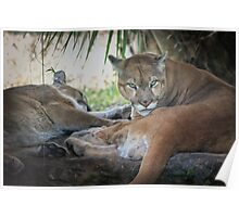 Facing Extinction - Florida Panther Poster