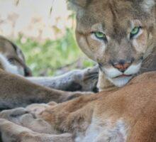Facing Extinction - Florida Panther Sticker