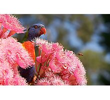 The Bird, the Bee and the Gum Blossoms ~ Rainbow Lorikeet Photographic Print