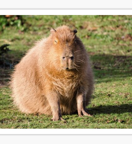 Capybara stare Sticker
