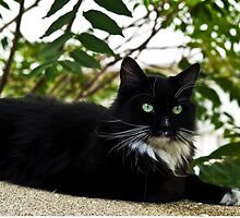 Tuxedo Cat Of Jerome Arizona by K D Graves Photography