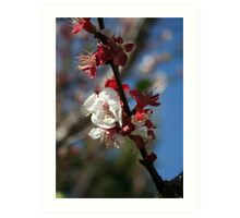 Sunlight Embracing Apricot Blossom Art Print