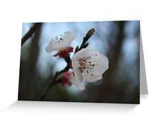 Close Up Apricot Blossom In Pastel Shades Greeting Card