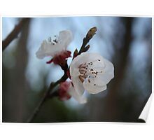 Close Up Apricot Blossom In Pastel Shades Poster