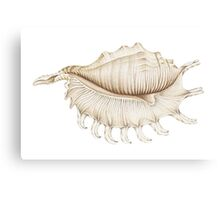 Spider Conch Shell in Coloured Pencil Canvas Print