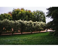 Olive Trees In A Row Photographic Print