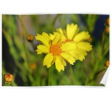 Crown Daisies Poster