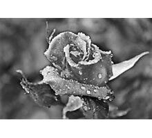 Rose in the Rain #2 Photographic Print