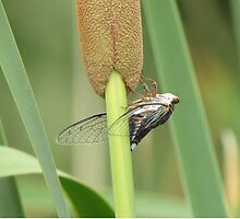 Cicada on a Cattail Plant by Ingasi