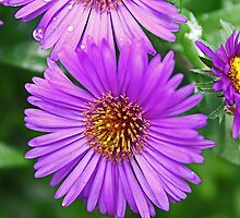 Purple Asters by teresa731