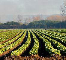 Australian Soil Lettuce Rejoice by Nicholas Blackwell