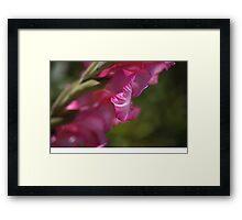 Pink Side Gladioli Framed Print