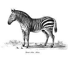 Zebra - Super Retro Photographic Print