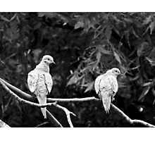 A PAIR OF TURTLE DOVES Photographic Print