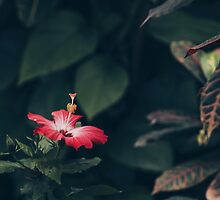 Lone Hibiscus  by Mark Omlor