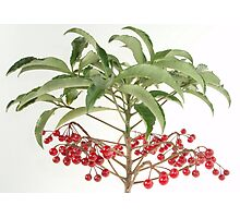 Spice Berry Coral Ardisia Evergreen Shrub Photographic Print