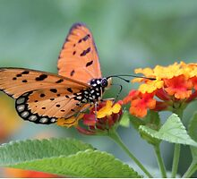 The Tawny Coster Butterfly  by Vedangi  Shinde