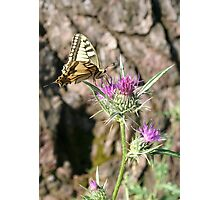Scarce Swallowtail Butterfly and Thistle Photographic Print