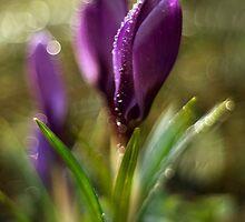 Morning Impression with Violet Crocuses by JBlaminsky