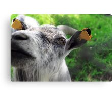 Funny, curious goat with orange earrings touching the camera. Blurred green background. Canvas Print