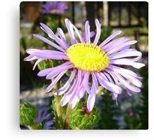 Close Up of A Violet Aster Flower Spring Bloom Canvas Print