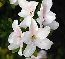 Early Bloom White Azalea by Ostar-Digital