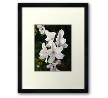Early Bloom White Azalea Framed Print