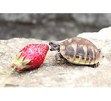 Photograph of a baby turtle eating a strawberry Photographic Print