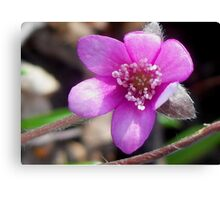 First Hepatica of the season  Canvas Print