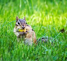 Chipmunk with Acorn by Christina Rollo