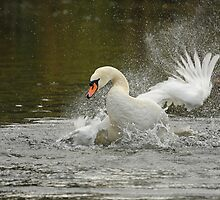 Bathing swan by Lyn Evans
