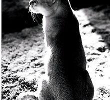 black&white singapura cat 1 by Crisarin