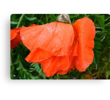 Red poppy head Canvas Print