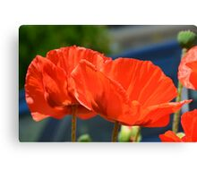 Red poppy heads Canvas Print