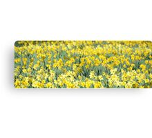 Daffodil panorama Canvas Print