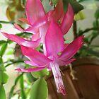 Christmas Cactus In Janurary...as is by trueblvr