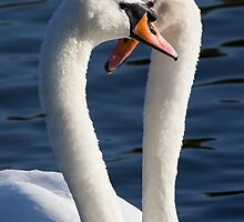 Courting Swans by DavidHornchurch