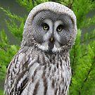 Great Grey Owl by Dorothy Thomson