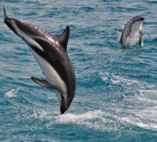 Leaping Lagenorhynchus (Dusky Dolphins) Sticker