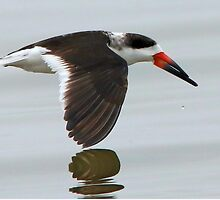 Black Skimmer by SuddenJim