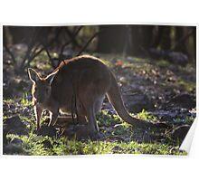 Mt. Lofty Kangaroos Pt.1 Poster