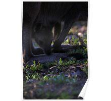 Mt. Lofty Kangaroos Pt.5 Poster