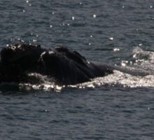 Victor Harbor Southern Right Whales Pt.4 Sticker