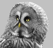 Aspen, Great Grey Owl by doddsleon