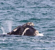 Victor Harbor Southern Right Whales Pt.10 Sticker